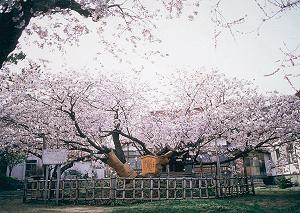 北海道松前 血脈桜