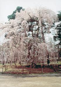 青森県弘前 二の丸のシダレザクラ