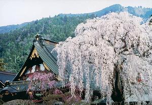 山梨県南巨摩 久遠寺の桜