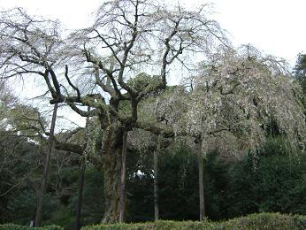 小田原長興山のしだれ桜