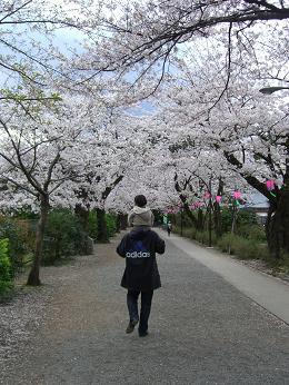 小田原城址公園桜
