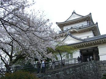 小田原城址公園桜2