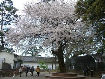 小田原城址公園桜3