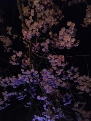 夜桜・一本松公園