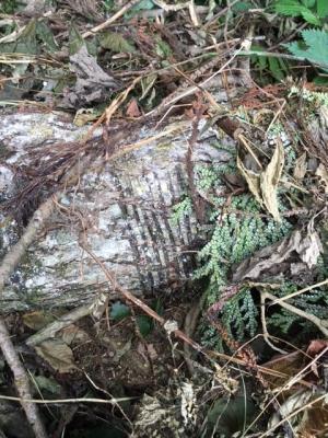 伐倒した漆の木