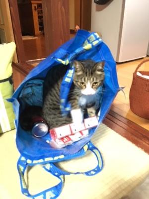 イケアの袋に入る猫