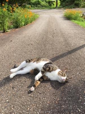 道路で寝る猫
