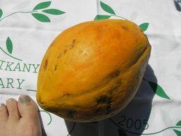 石垣島産フルーツパパイヤ