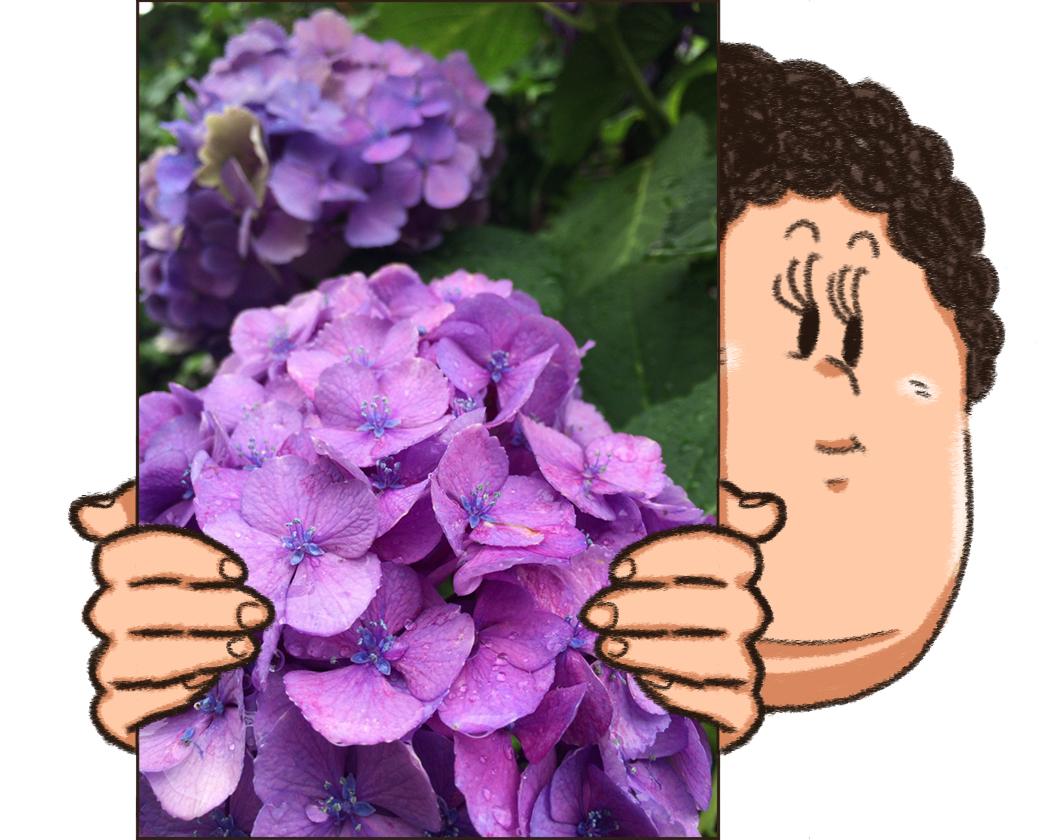 赤紫色のあじさい写真