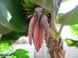 banana_hana
