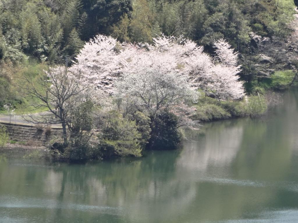 20170414小中池桜