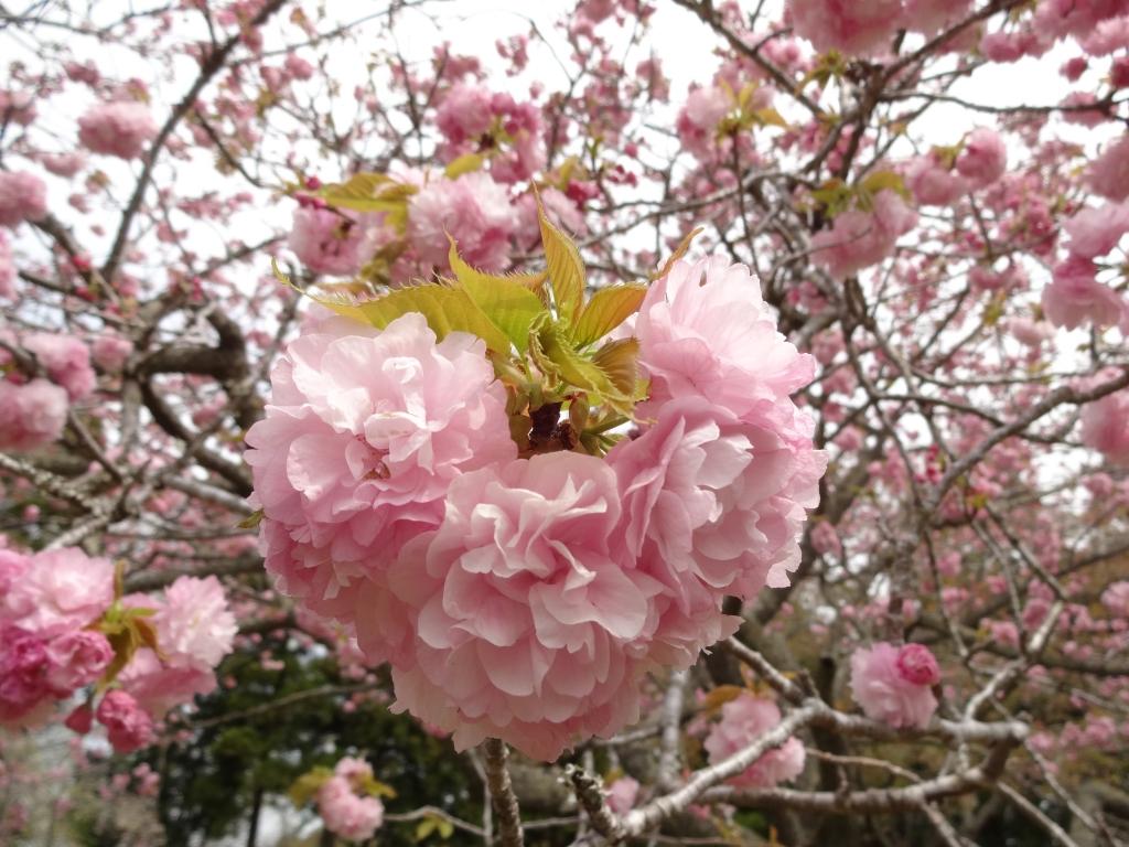 20170417八重桜