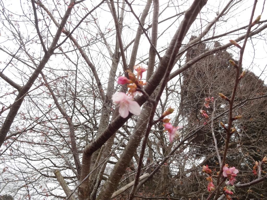 20180225彼岸桜
