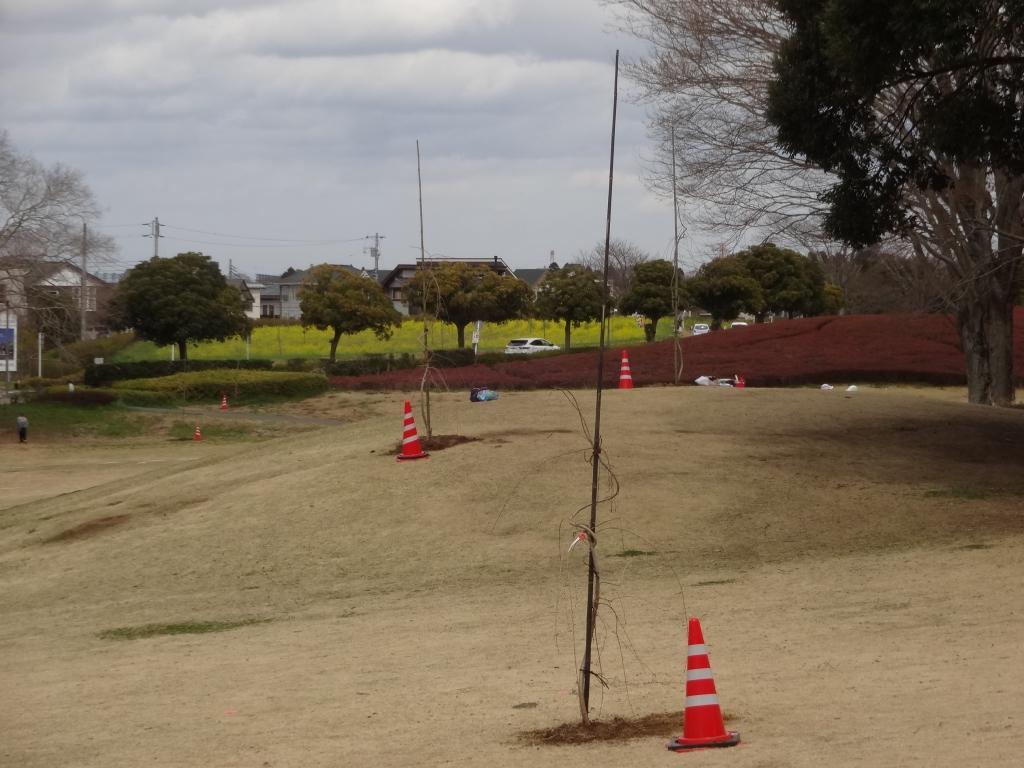 20180318桜植樹