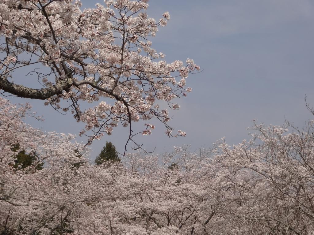 20180327桜
