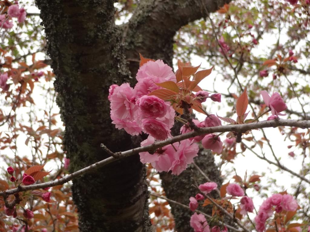 20180406八重桜