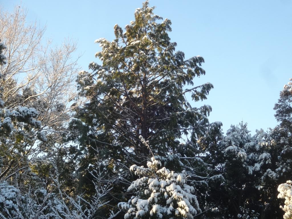 20190201雪杉