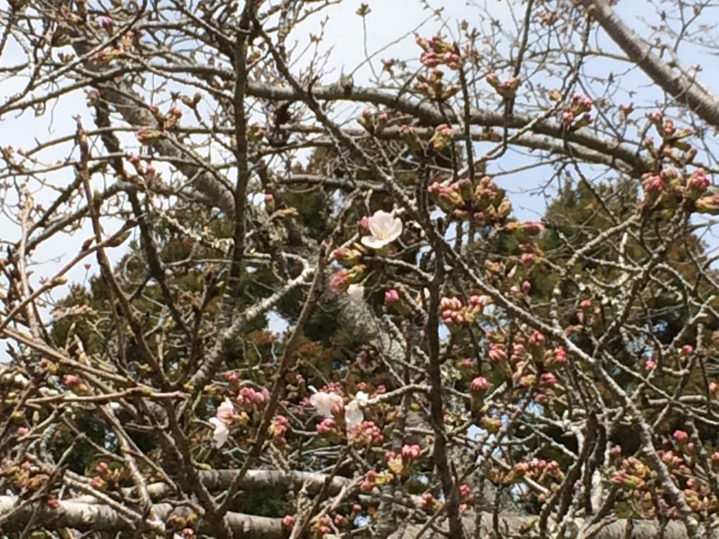 20190322桜