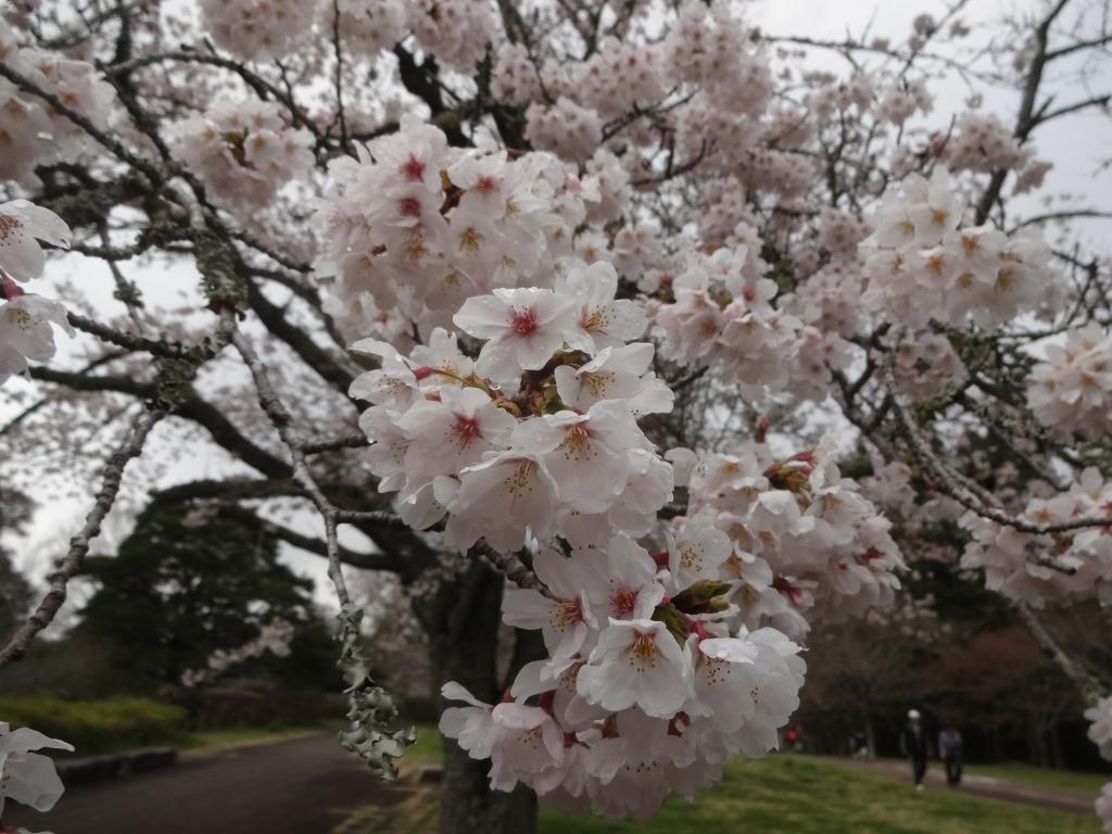 20190331桜