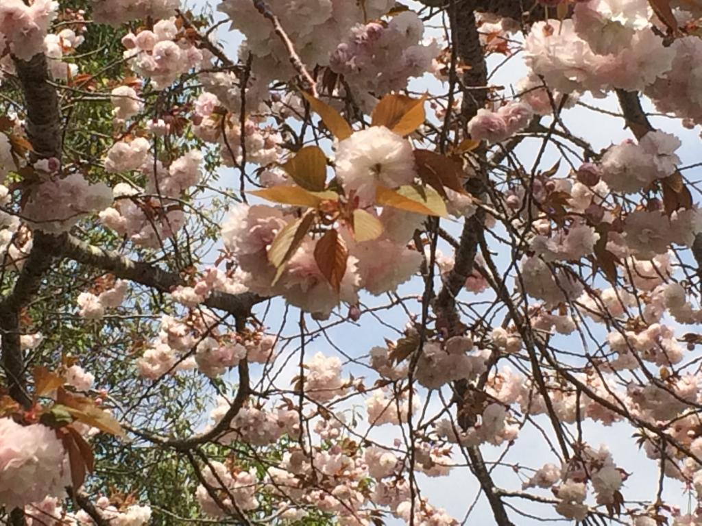 20190419八重桜