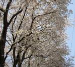 写真:日本橋学館大学近くの桜並木