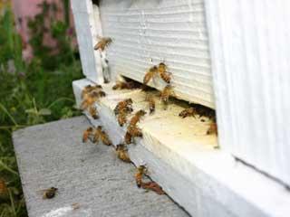 れんげの花蜜をお腹に貯えて帰ってくるミツバチ