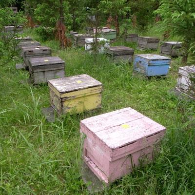 交配用ミツバチの飼育場