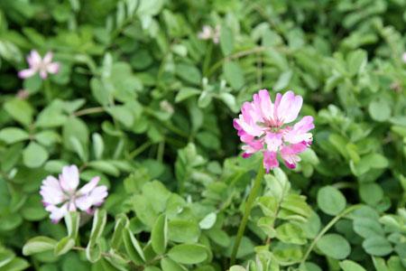 レンゲの咲き具合