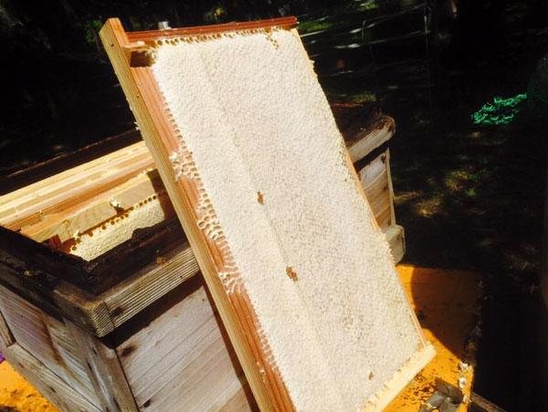ハチミツがパンパンに入った巣