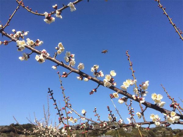 ミツバチが梅の花粉交配