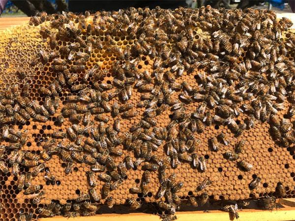 ミツバチのサナギ