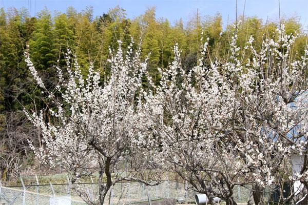 垂井町で咲くウメ
