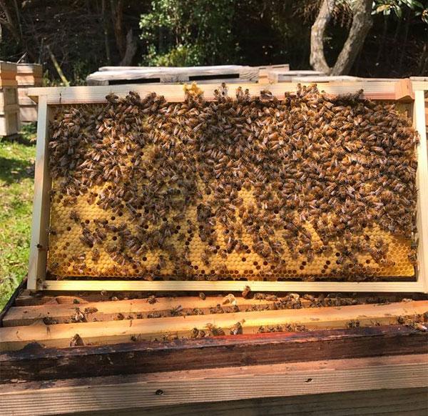 ミツバチの繁殖