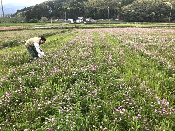 レンゲの花摘み
