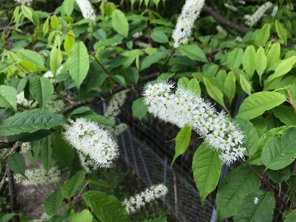 蜜源植物 ウワミズザクラ