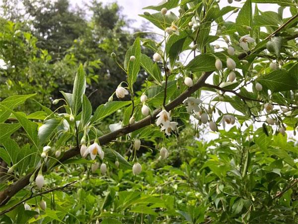 エゴノキの開花