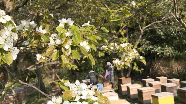 2018年春桜蜜(はちみつ)の収穫の様子