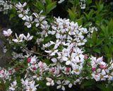 のいちごの花