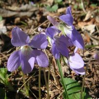 薄紫のスミレ