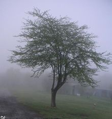 樹木1本霧