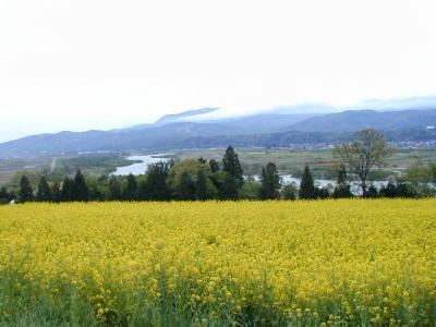 春の菜の花畑.jpg