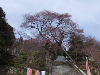 宇都宮市・慈光寺の桜(開花前の濃いピンク色・・・わかります?)
