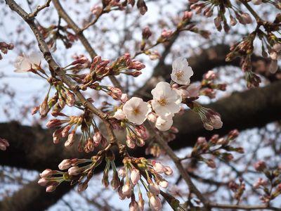 新川桜並木のソメイヨシノ(2006年3月28日撮影)