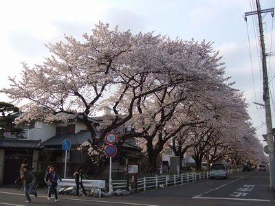 新川桜並木のソメイヨシノ(2006年4月7日撮影)