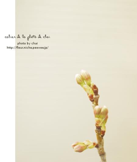 さくらんぼうの花