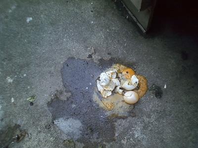 ケヅメリクガメの卵
