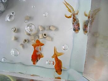 金魚導入と水槽立ち上げ25