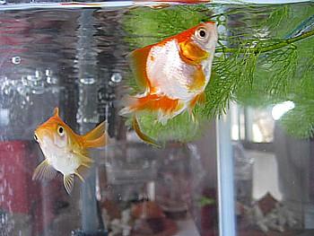 金魚導入と水槽立ち上げの注意2