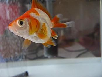 金魚導入と水槽立ち上げの注意3