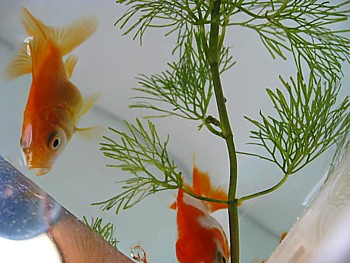 金魚導入と水槽立ち上げの注意4